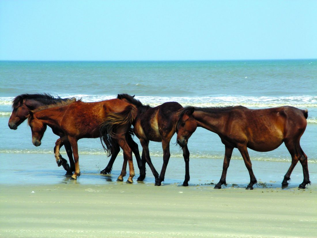 Corolla Wild Horse Tours Outer Banks