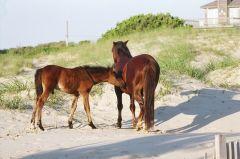 Corolla Wild Horse Tours