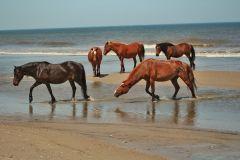 Corolla Wild Horse Tours photo