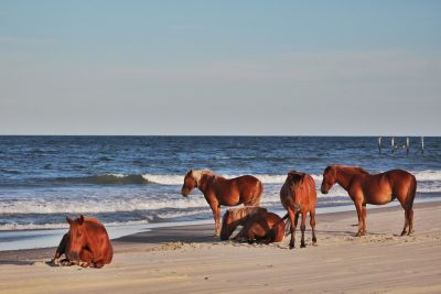 Corolla Wild Horse Tours photo